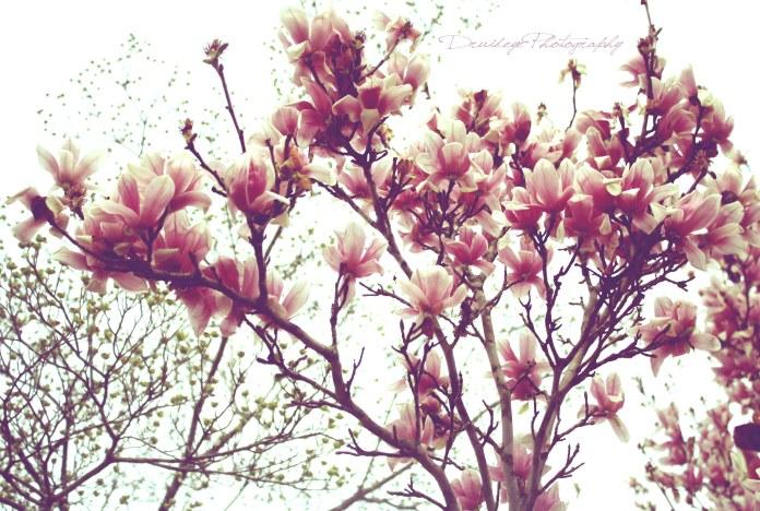 spring_magnolias_by_druideye